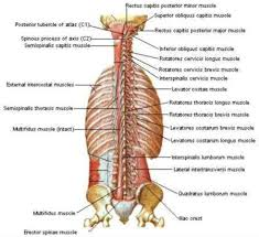 Anatomy Of Human Back Muscles Back Stretches With Pictures And Explanations