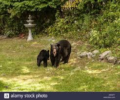black bears stock photos u0026 black bears stock images alamy