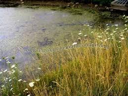 algae in ornamental ponds
