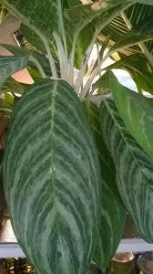 aglaonema 110 best aglaonema аглаонема images on pinterest plants