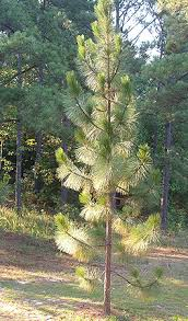 all about pine needles