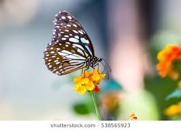 butterfly flower images stock photos vectors