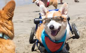 corgi a corgi themed festival is happening in california this weekend