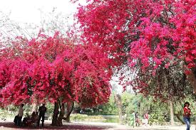 discover delhi the pink bloom that can make you fall in with