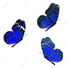 beautiful three blue monarch butterfly flying isolated on white