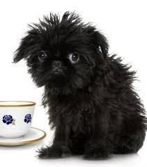 affenpinscher breeders canada small breed dogs faq