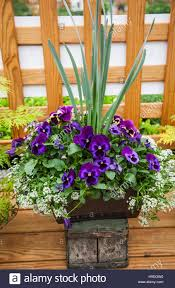Spring Pansies In A Planter Pot Potted Flowers Stock Photo
