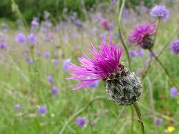 native plants of ireland flora burrenbeo trust