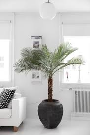 best 20 indoor palm trees ideas on pinterest indoor palms palm