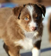 australian shepherd for sale near me aussies for sale home facebook