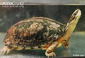 the endangered four eyed turtle sacalia quadriocellata has