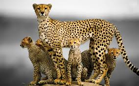 cats family cat animals african cheetah image meme hd 16 9 high