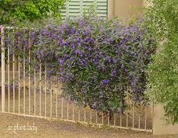 Purple Flower On A Vine - a lilac for the desert another great lesser known plant to try
