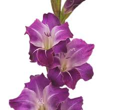 gladiolus flowers diy wholesale fresh cut gladiolus flowers for wedding