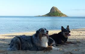 australian shepherd cattle dog australian shepherd and australian cattle dog at kuuloa beach park