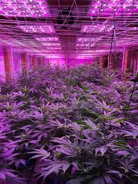 Grow Room Lights How To Grow Cannabis Gallery Advanced Led Lights