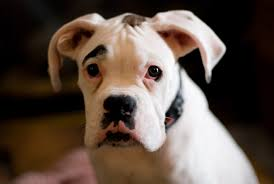boxer dog health questions the boxer personality revealed