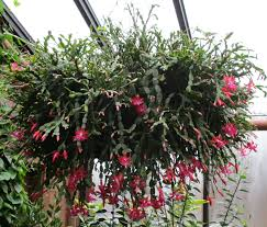 cacti cristmas cactus thanksgiving cactus and easter cactus