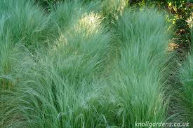 nassella tenuissima knoll gardens ornamental grasses and