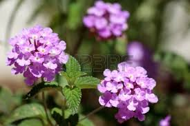 Scented Flowering Shrubs - lantana montevidensis a small strongly scented flowering low