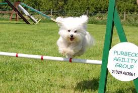 bichon frise jumping gallery purbeck agility group purbeck agility group