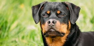 best 6 foods to feed your and puppy rottweiler 2017