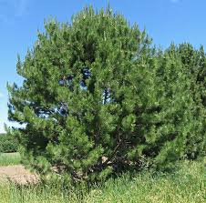 study identifies fastest growing trees for front range colorado