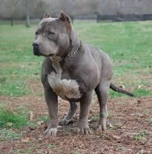 american pitbull terrier breeders st louis xxl biggest best extreme pitbulls american bully breeder kennel
