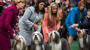 westminster australian shepherd 2014 competition begins in 138th annual westminster kennel club dog