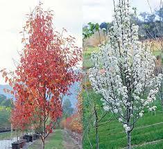 ornamental pear tree pyrus calleryana fronzam pear tree