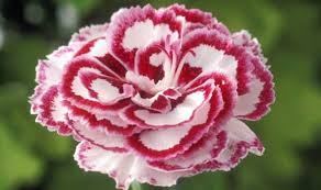 flowers uk alan titchmarsh s tips on growing pink flowers in your garden
