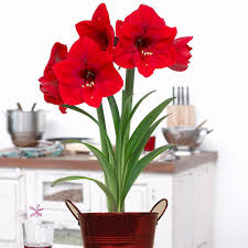 amaryllis flowers amaryllis flower bulbs garden plants flowers the home depot