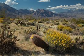 anza borrego wildflowers anza borrego foundation abf