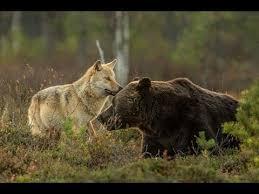 imagenes sorprendentes de lobos la inusual y sorprendente amistad entre un lobo y un oso documentada
