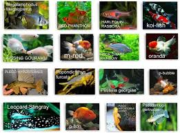freshwater fishes products indonesia freshwater fishes supplier