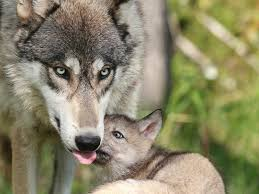 Wyoming wild animals images Victory for wolves in wyoming earthjustice jpg