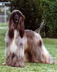afghan hound king of dogs 1st afghan hound to win 1957 bis at westminster dog show