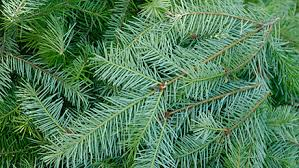 douglas fir christmas tree the gardens i tulare ca douglas fir christmas tree 6 7