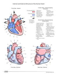 Diagram Heart Anatomy Taylorcustom Diagrams And Documents