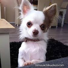 long hair chihuahua hair growth what to expect 870 best favorite chihuahua pics images on pinterest little dogs