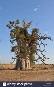 baobab dead rat tree monkey bread tree tree stock