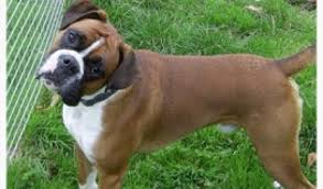 rescue a boxer dog floyd u2013 1 year old male boxer dog for adoption