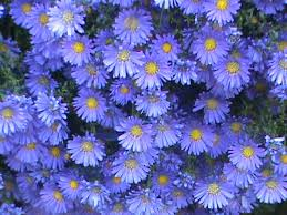 mums vs asters and how to use them in your landscape hgtv