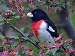 rose breasted grosbeak pheucticus ludovicianus north america to