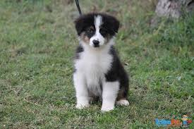 australian shepherd 7 mesi australian shepherd cuccioli in vendita a trecenta ro