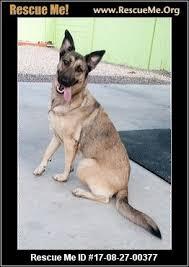 belgian sheepdog craigslist arizona german shepherd rescue u2015 adoptions u2015 rescueme org