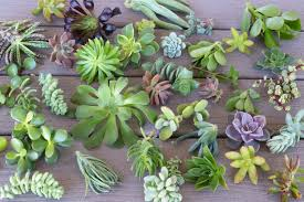 pots for succulents for sale cuttings assorted succulents succulents for sale bulk