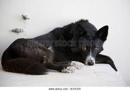 belgian shepherd x border collie black white border collie cross stock photos u0026 black white border