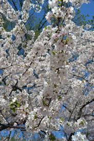 1 day washington dc cherry blossom tour from new york