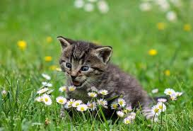 kitten free pictures pixabay